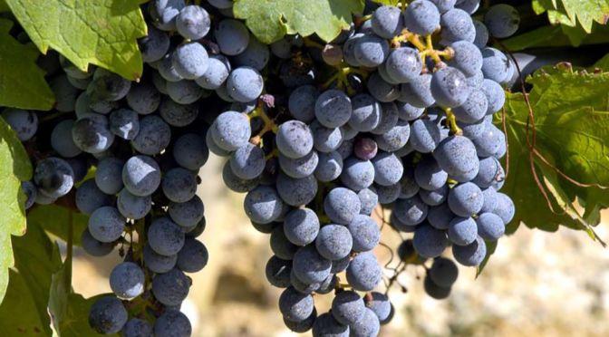 I Vini della provincia di Lucca